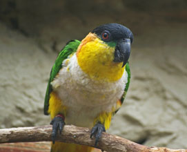 Caiques standing on a wood stick