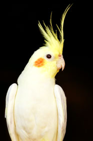Cockatiels Parrot picture