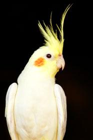 Cockatiels Parrot picture