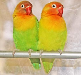 two LovebirdsLorries parrots standing on a stick