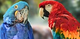 Two Macaws Parrots