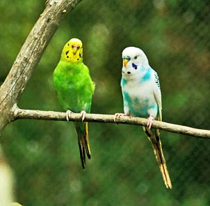 two parakeets standing on a tree stick