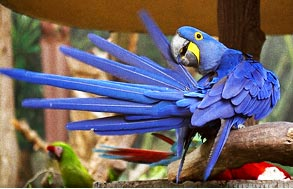 blue parrot on a tree stick