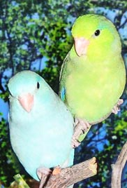 two parrotlets on a tree