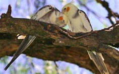two cockatiel on a tree