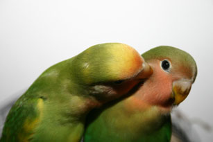 parrot giving a kiss to another parrot no his cheek