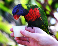 beautiful parrot eating from a white cup