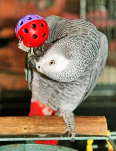 parrot playing with a toy