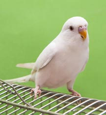 little white parrot