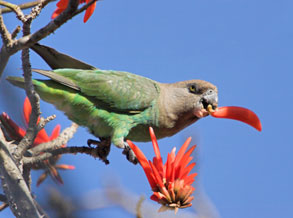Poicephalus parrot standing on a tree